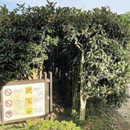 <川崎市宮前区・県立東高根森林公園>50メートルの甘美なトンネル~2021年もキンモクセイが開花