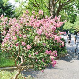 桃色映えるサルスベリ 園内各所で見頃を迎える@横浜市神奈川区 三ツ沢公園