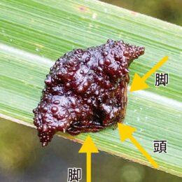 日本七大珍種蜘蛛「ワクドツキジグモ」を発見 !秦野市くずはの家 高橋所長