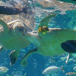 【箱根園水族館】SDGsでウミガメの餌にコンブを活用!お腹も環境もきれいに!