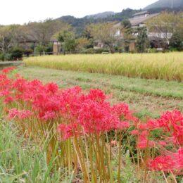 【秦野でお散歩】真っ赤な彼岸花が満開 秦野市田原ふるさと公園近くで