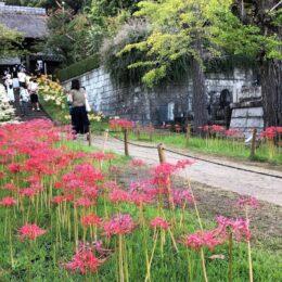 【横浜市港北区】三色の彼岸花、今年も満開に 新羽町・西方寺