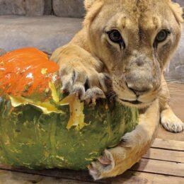よこはま動物園ズーラシア ハロウィンイベント開催中@横浜市旭区