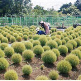 【松田山 コキアの里】約3000株のコキア、緑色から赤色へ、色の変化を楽しんで!