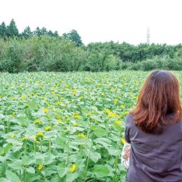 南足柄市のユートピア農園に季節外れの黄色い絨毯が出現!12月までヒマワリのリレーが楽しめる