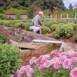 南足柄市内3カ所で「ざる菊まつり」里山の秋の風物詩、色とりどりのざる菊を堪能!